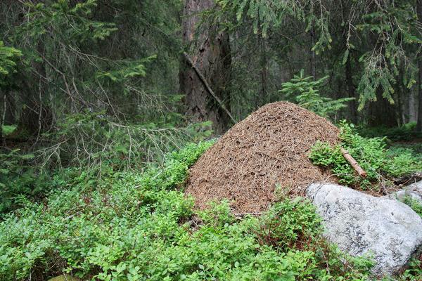 Undersök en myra – läromedel i biologi åk 4,5,6